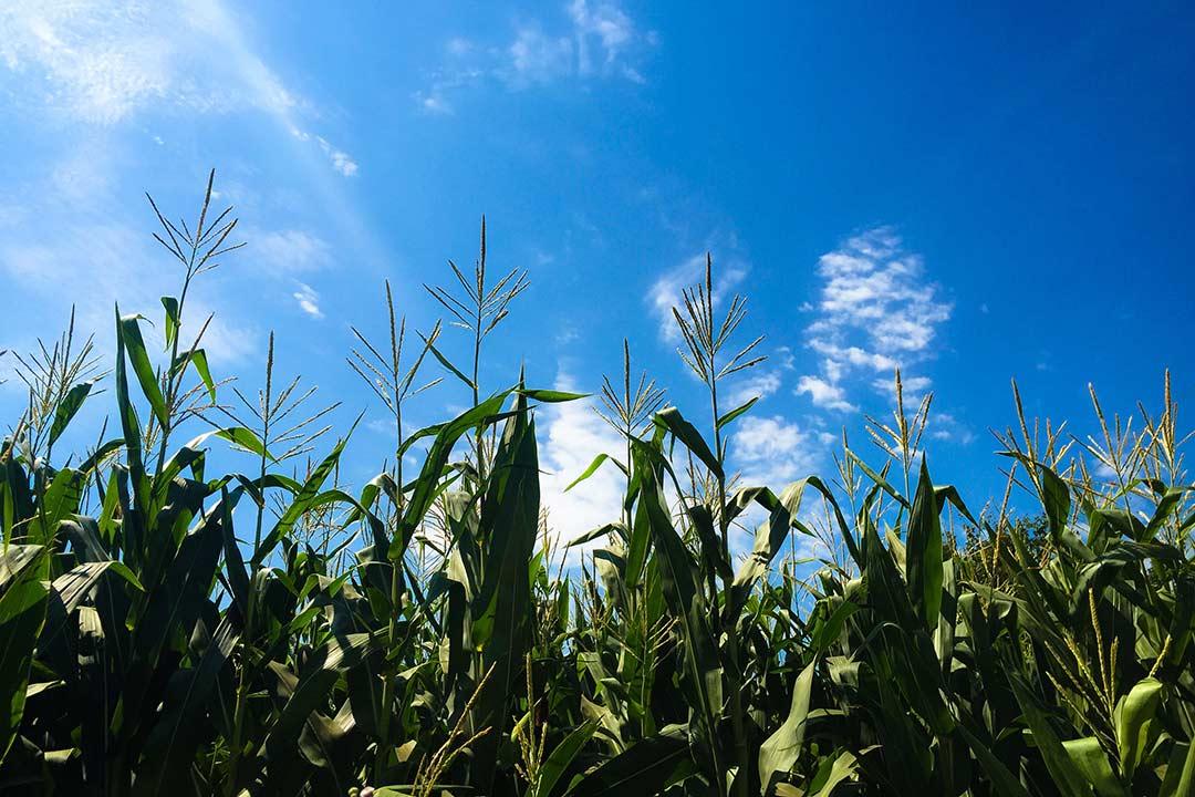 Yoldaki mısır tarlaları, Gökçetepe