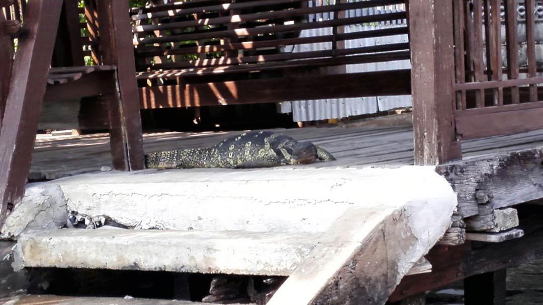 Monitor lizard (dev kertenkele) Tayland'daki tatlı sularda ço görülen br cins sürüngen.